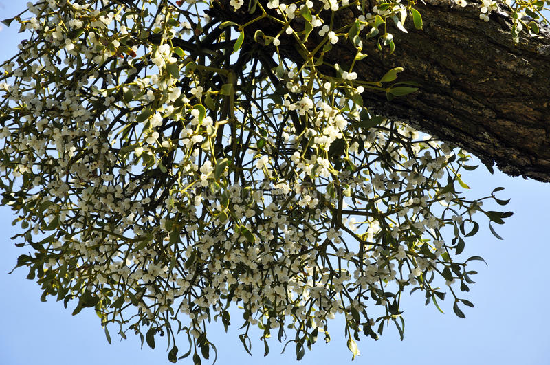 Mistletoe. Growing on the branch of a tree stock photography