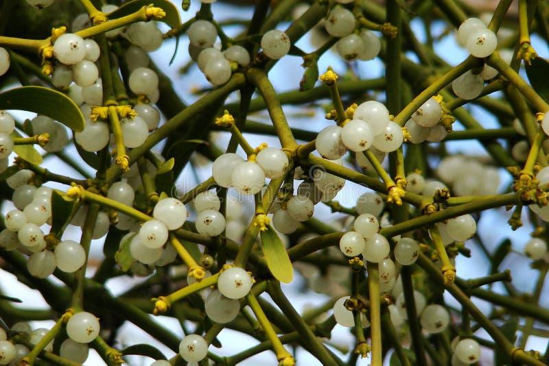 mistletoe arkivbilder