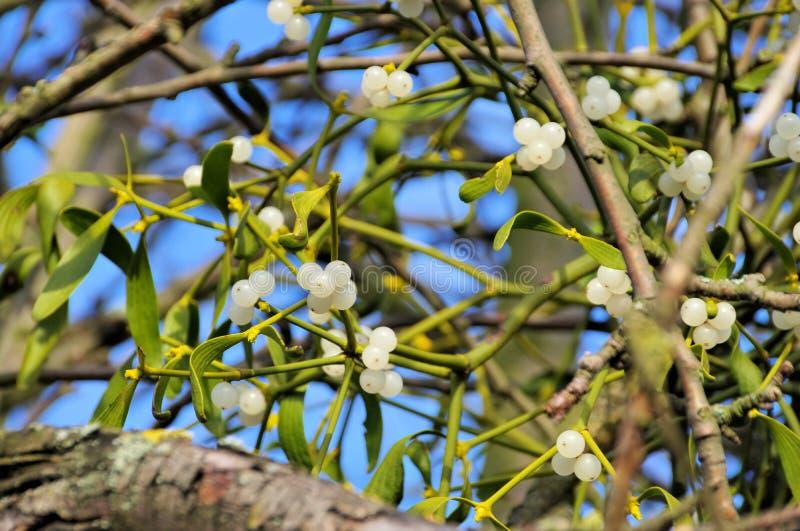 mistletoe royalty-vrije stock foto
