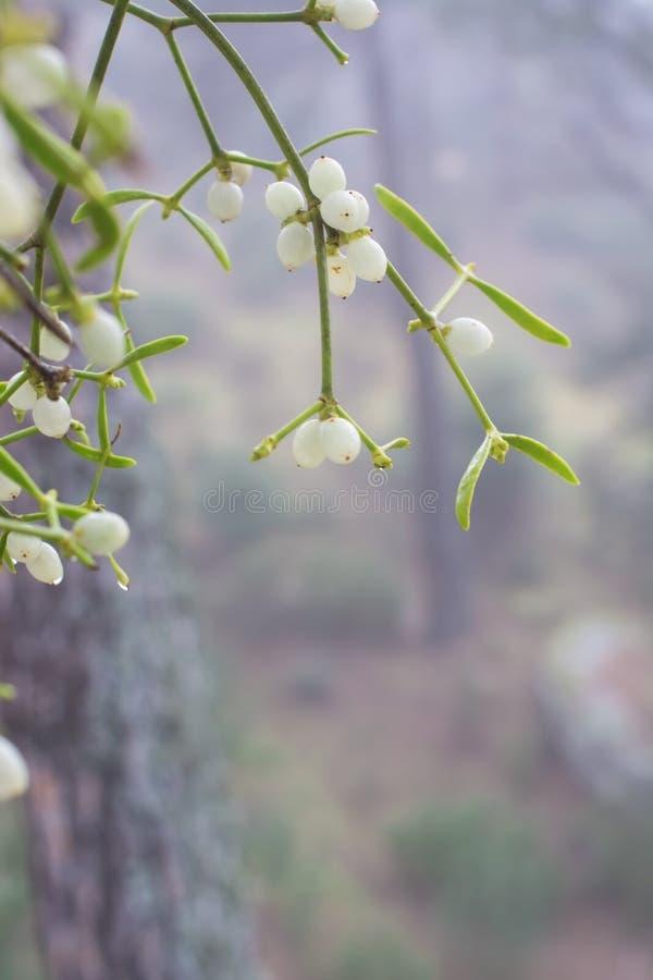 mistletoe стоковое фото rf