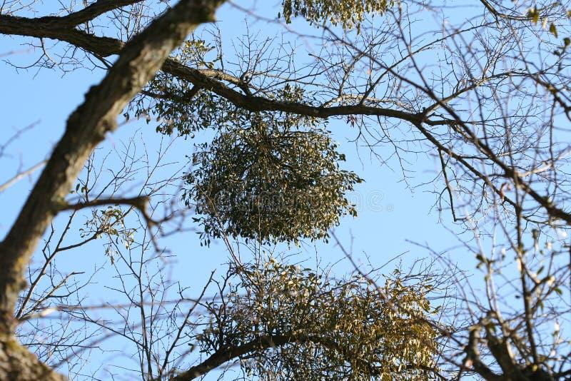 mistletoe стоковая фотография