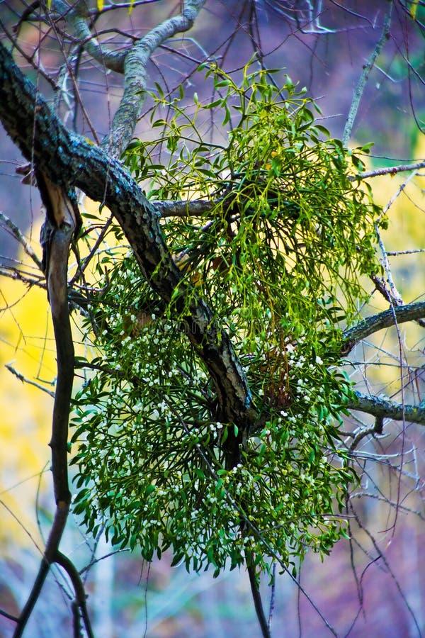 Mistletoe branch stock photography