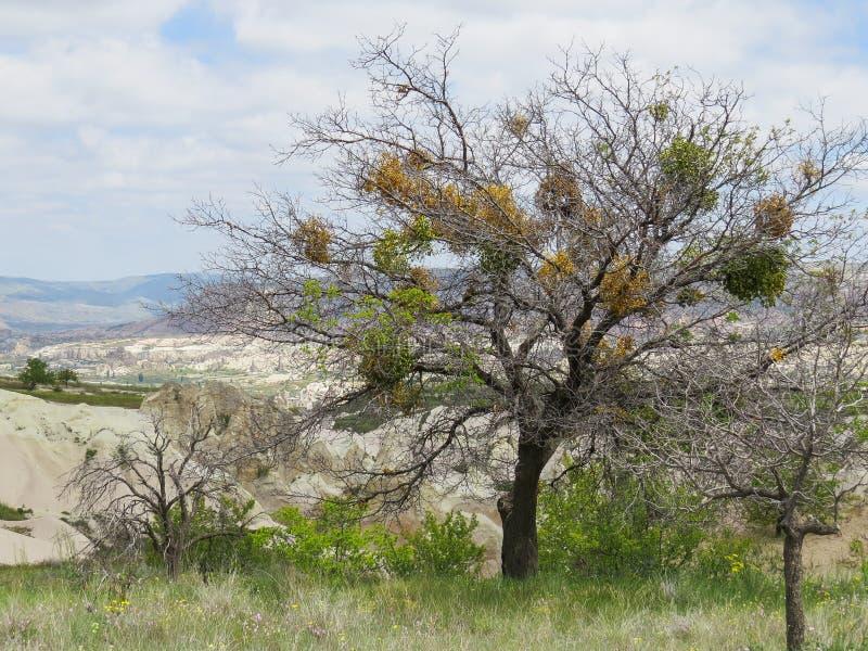 mistletoe Een altijdgroene parasitische struik die ten koste van andere bomen leeft stock foto's