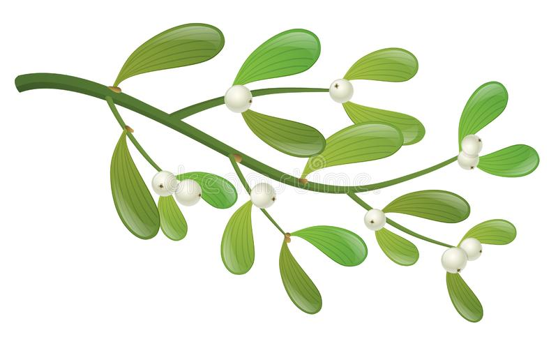Mistletoe plant with white berry and green leaf. Realistic mistletoe plant branch with leaf and white berry. Isolated on white, design for Christmas, winter or royalty free illustration