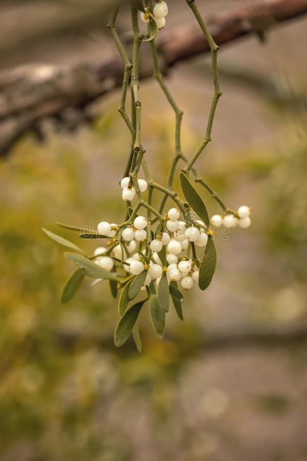 Mistletoe white berries - Viscum album.  stock images