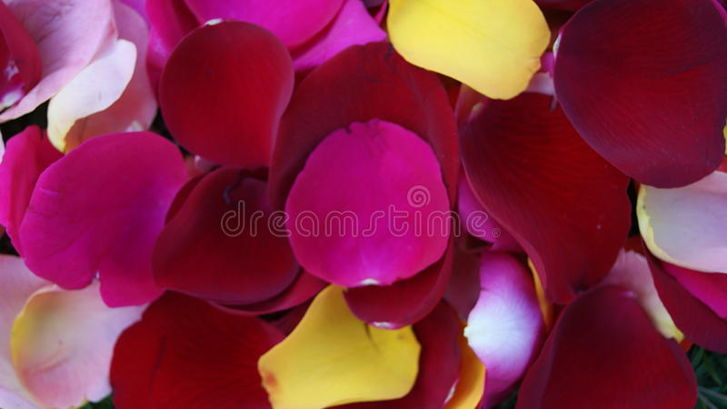Mistura colorida das pétalas do ` s da rosa foto de stock royalty free