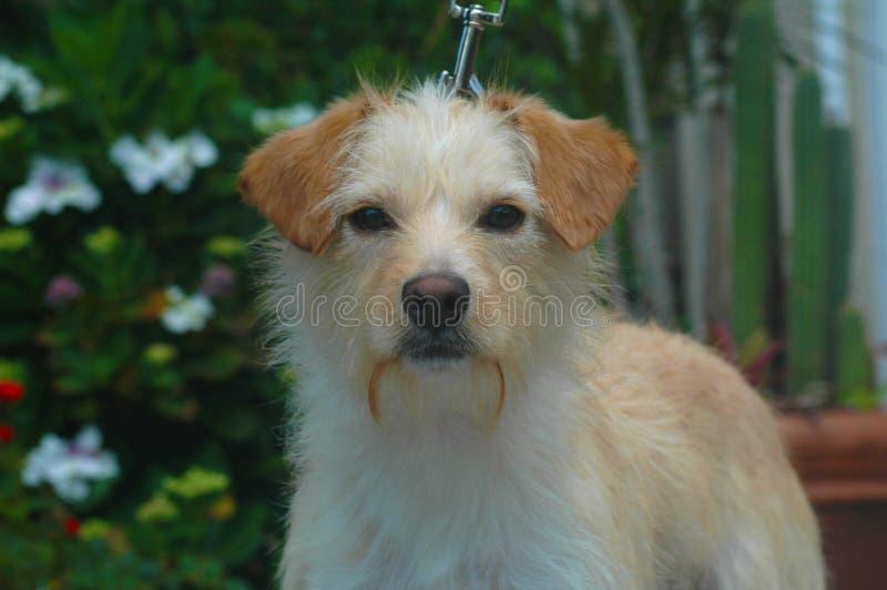 Mistura de cabelo do terrier do fio branco e bronzeado imagem de stock royalty free