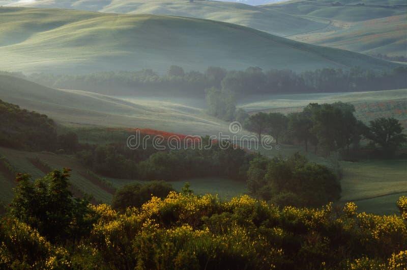 Mistura de manhã com árvores e um campo de papoilas nas colinas ao redor de San Quirico Val D'Orcia Tuscany Itália imagem de stock royalty free