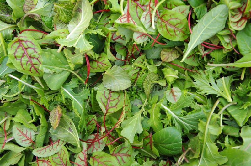 Mistura saudável da salada dos verdes crus do campo fotografia de stock