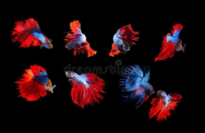 Misturado do unde completo de combate siamese azul e vermelho do corpo do betta dos peixes fotos de stock