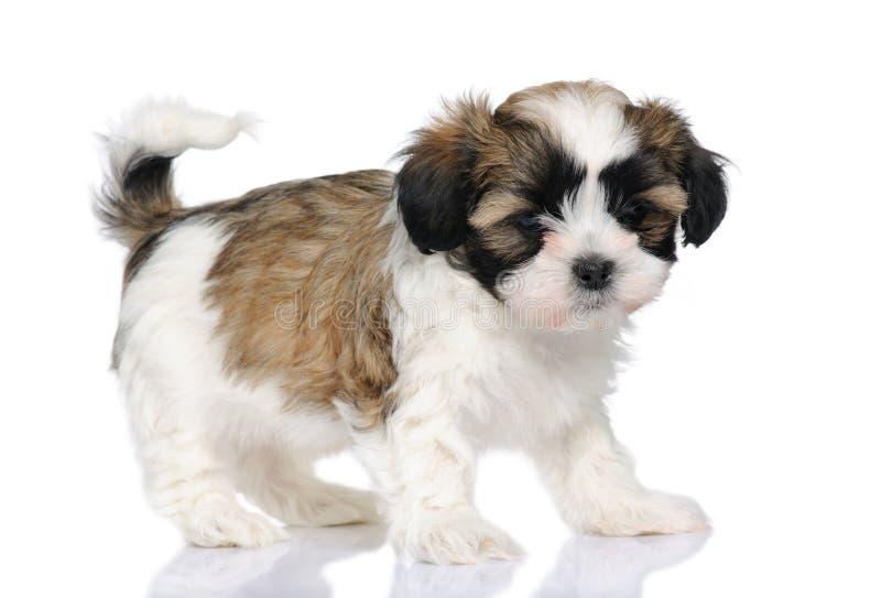 Misturado-Produza o cão entre Shih Tzu e cão maltês imagem de stock royalty free