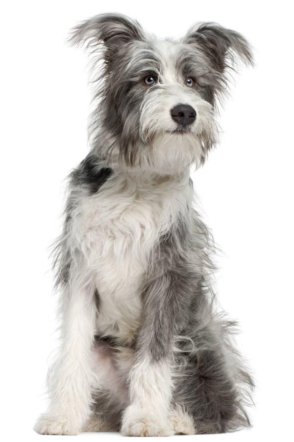 Misturado-produza o cão, sentando-se imagens de stock royalty free