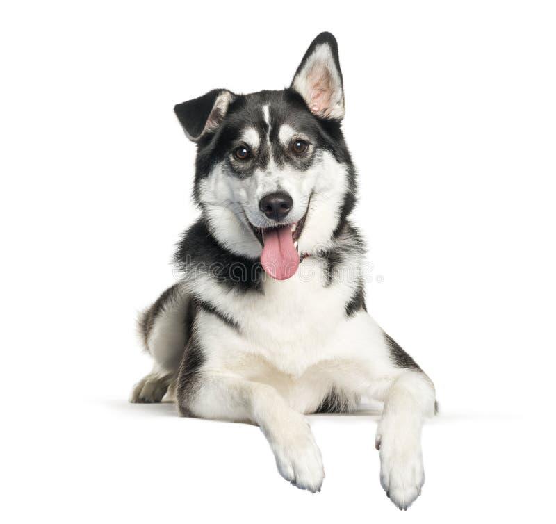 Misturado-raça entre o encontro do cão de puxar trenós Siberian e do labrador retriever foto de stock