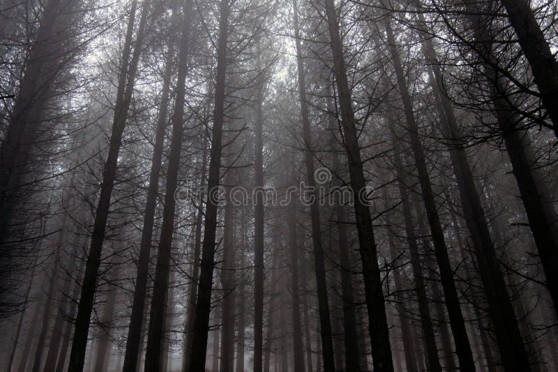 Misty και μελαχροινά δάση πεύκων στοκ εικόνα με δικαίωμα ελεύθερης χρήσης
