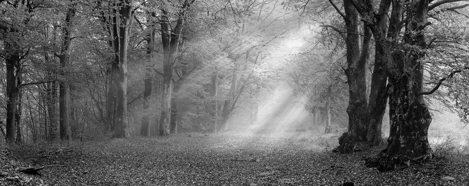 Misty autumn forest. Misty deciduous forest in autumn with the sunbeams making the way through the trees royalty free stock image