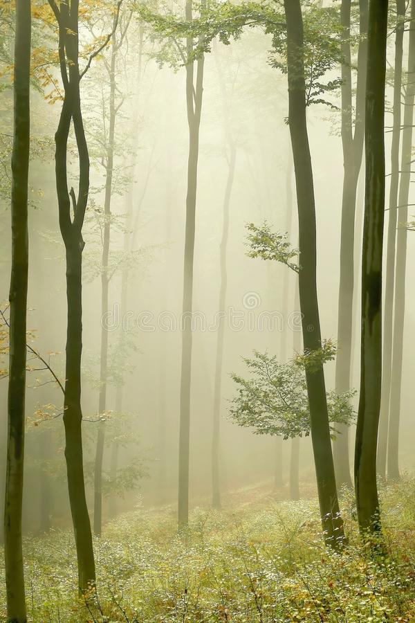 Misty autumn forest with early morning sun rays stock photos