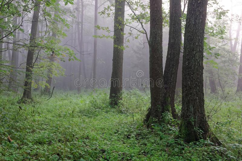 Misty autumnal morning and natural alder forest. Bialowieza Forest, Poland, Europe stock photos