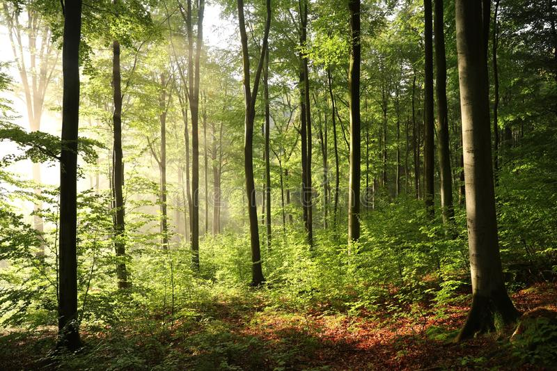 Misty beech forest during sunrise. Early autumn misty beech forest on a sunny morning stock photo
