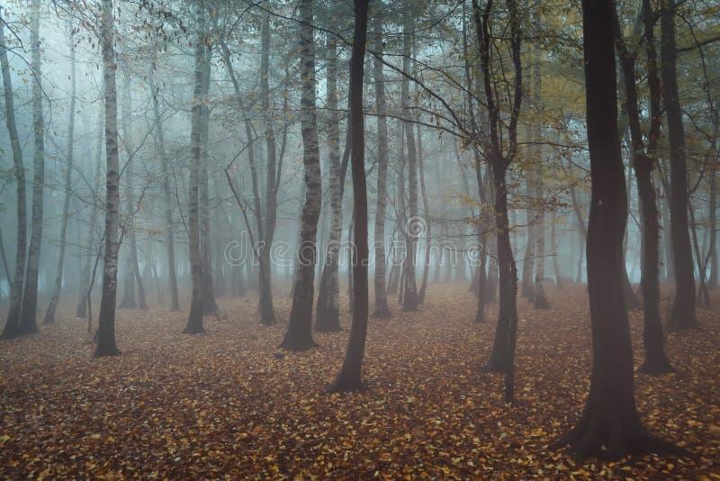 Misty birch tree stock images