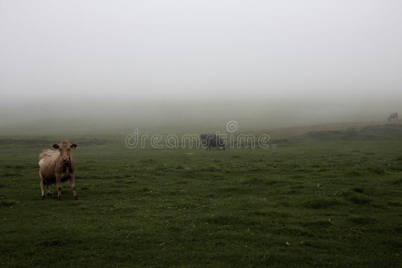 Misty Cows royaltyfri foto