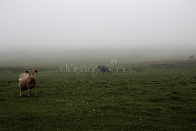 Misty Cows royalty free stock photo