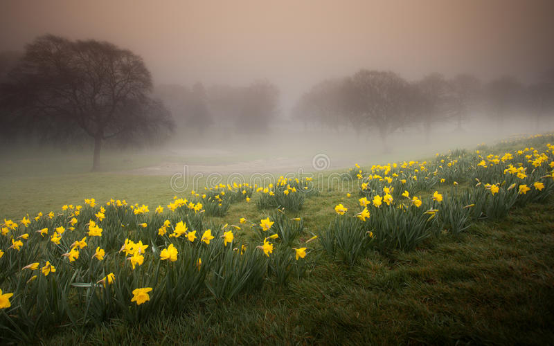 Misty Daffodils. Daffodils in Ravenhill park, Swansea stock photos