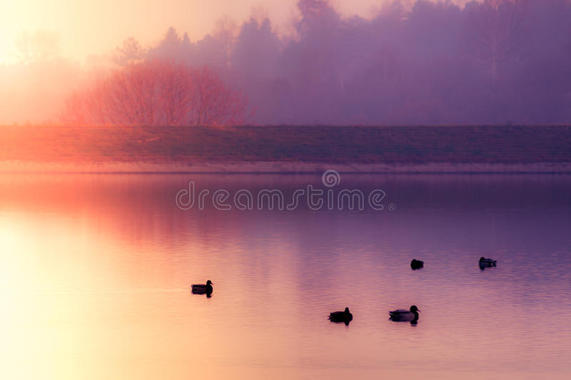 Misty, dreamlike lake with ducks. Flock of ducks in misty, dreamlike lake early dawn. Buoys and colorful autumn forest in background stock photos
