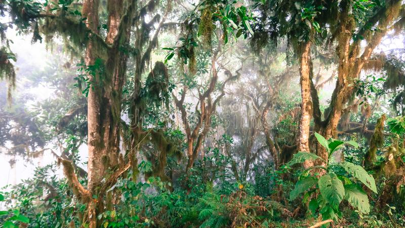 Misty early morning in forest on Mount Meru. Location: Arusha National Park, Tanzania stock photography