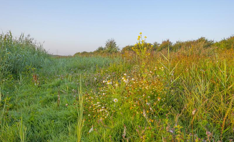 Misty field with flowers in wetland below a blue sky at sunrise. In summer royalty free stock images