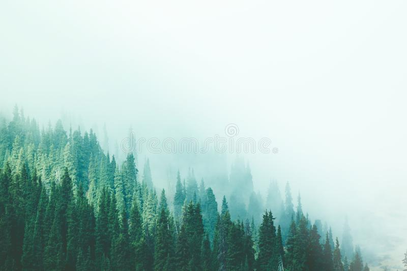 Misty fog pine forest mountain slopes color toning stock photo