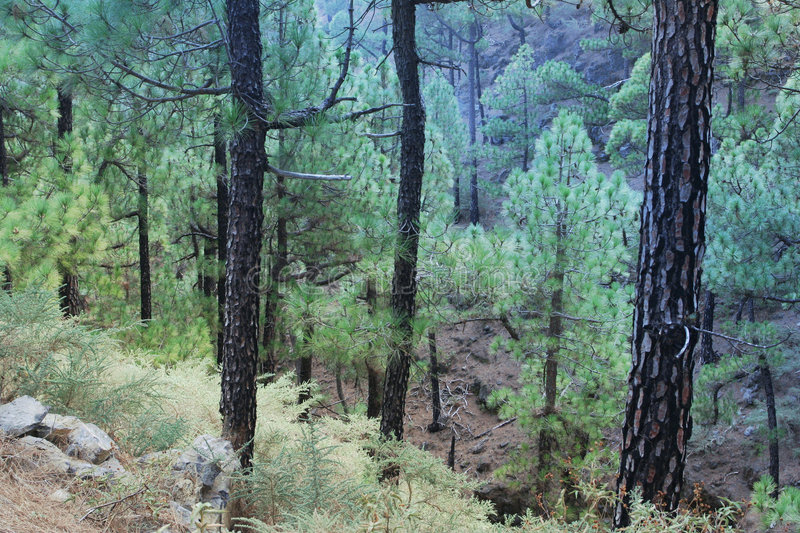 Download Misty forest stock image. Image of canary, canaries, pine - 7503581