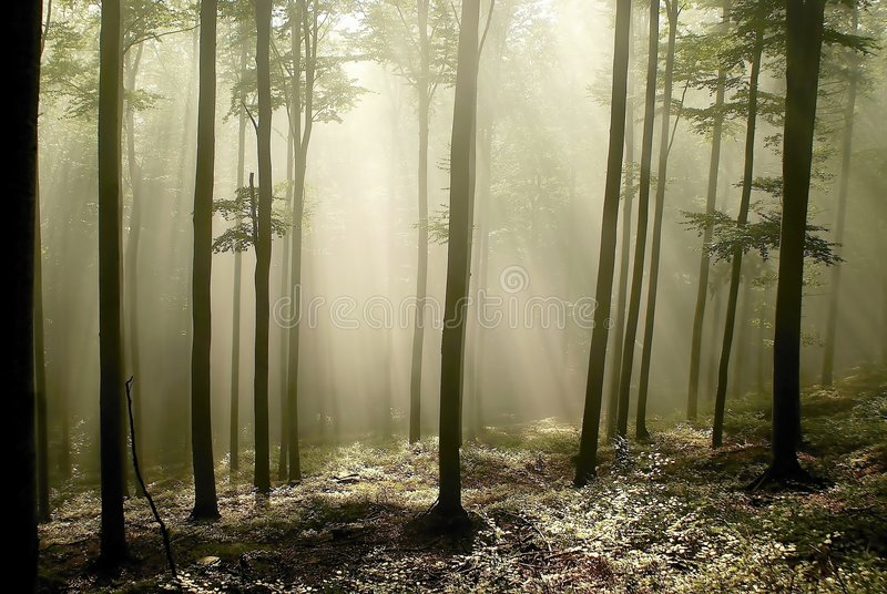 Download Misty Forest With Early Morning Sun Rays Stock Photo - Image: 8816690