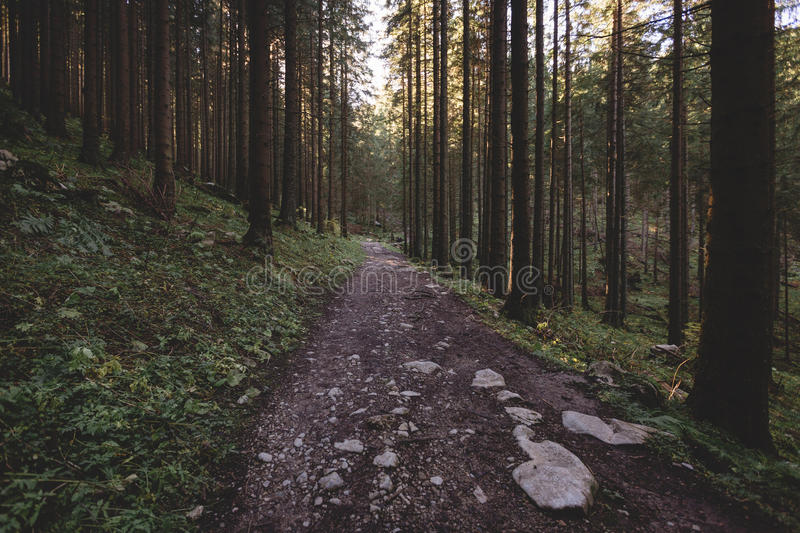 Misty forest and many vertical trees in the evening light. Misty dark grey and green forest and many vertical trees in the evening light with grey sky and bright royalty free stock photos