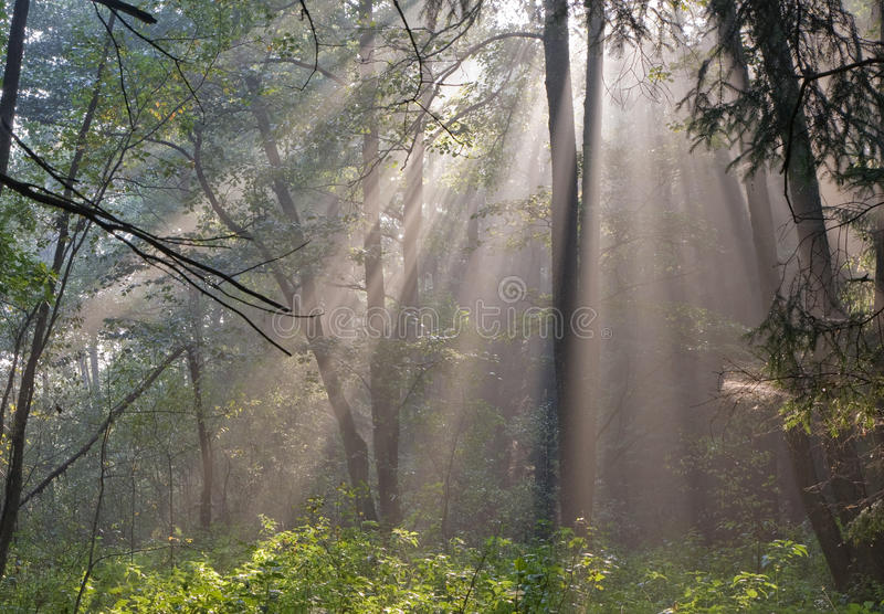 Misty forest at morning royalty free stock photography