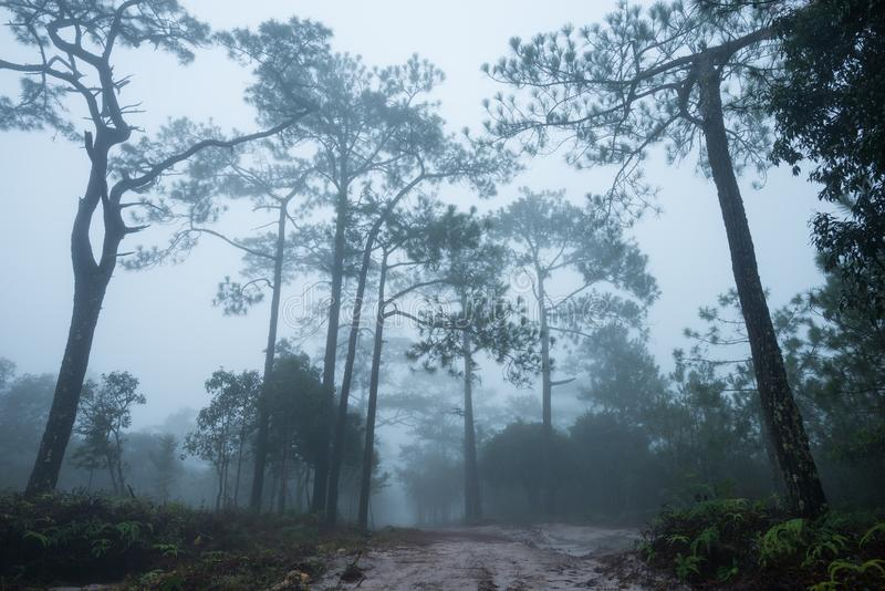 Forest path with pine and mist stock photos