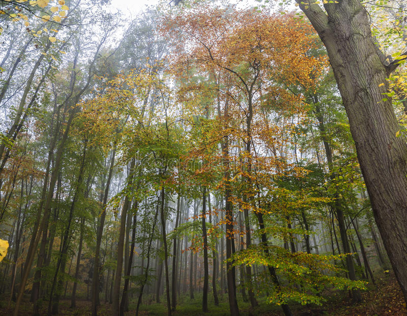Misty Forest Woodland Trees in Autumn or Fall stock photography