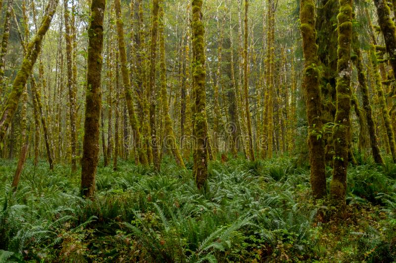 Misty Green Forest with Ferns Covering Ground stock image