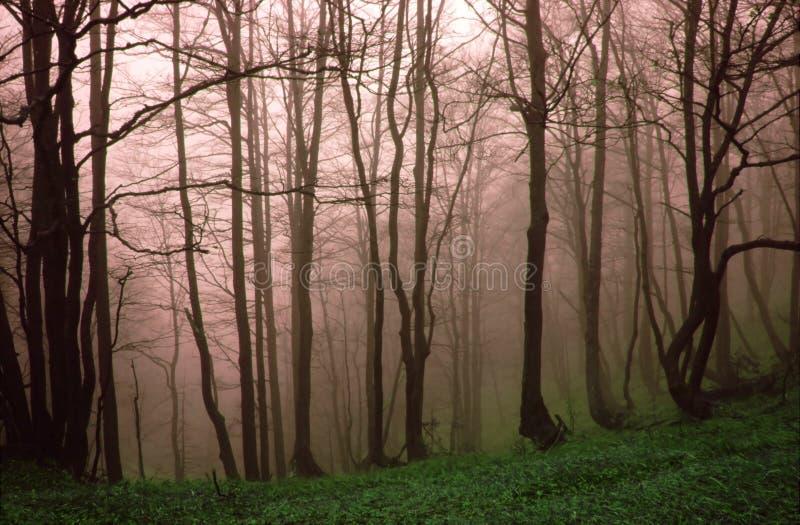 misty lasu. obrazy royalty free