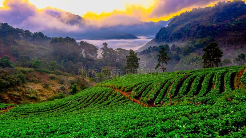 Misty morning sunrise in strawberry garden at Doi Ang khang mountain of Thailand- Burma Border, Chiangmai, Thailand royalty free stock image