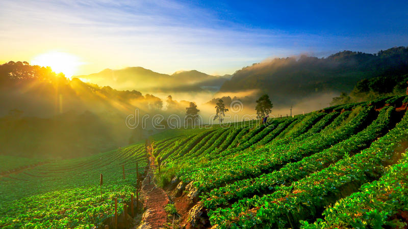 Misty morning sunrise in strawberry garden at Doi Ang khang mountain of Thailand- Burma Border, Chiangmai, Thailand royalty free stock images