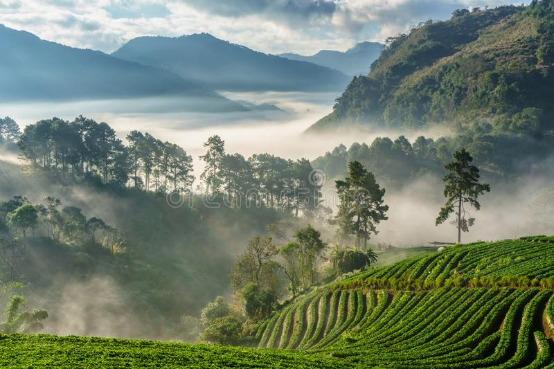 Misty morning sunrise in strawberry garden, View of Morning Mist at doi angkhang Mountain. Chiang Mai, Thailand stock images