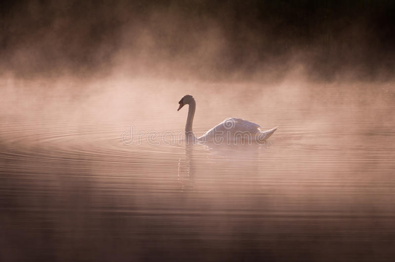Misty morning Swan. A swan on a calm lake on a misty Summers morning stock images