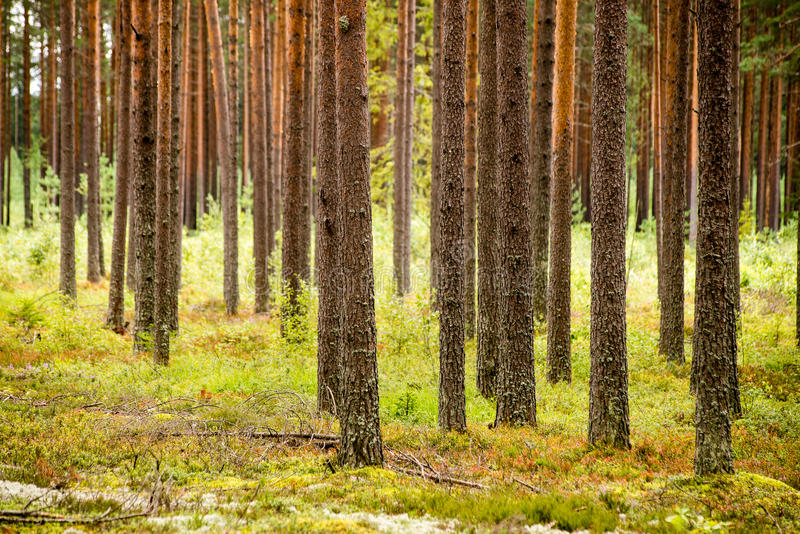 Misty morning in the woods. forest with tree trunks royalty free stock image