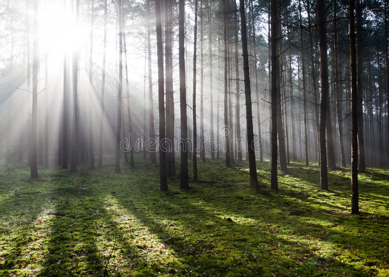 Misty old foggy forest royalty free stock photography