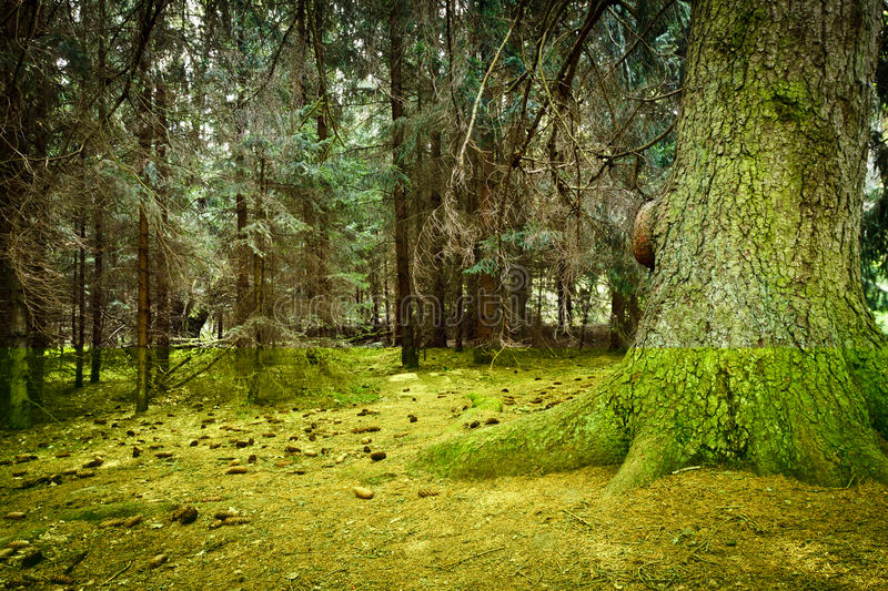 Misty old forest with cone royalty free stock photos