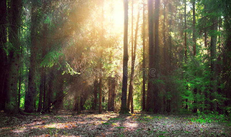 Misty old forest royalty free stock photos