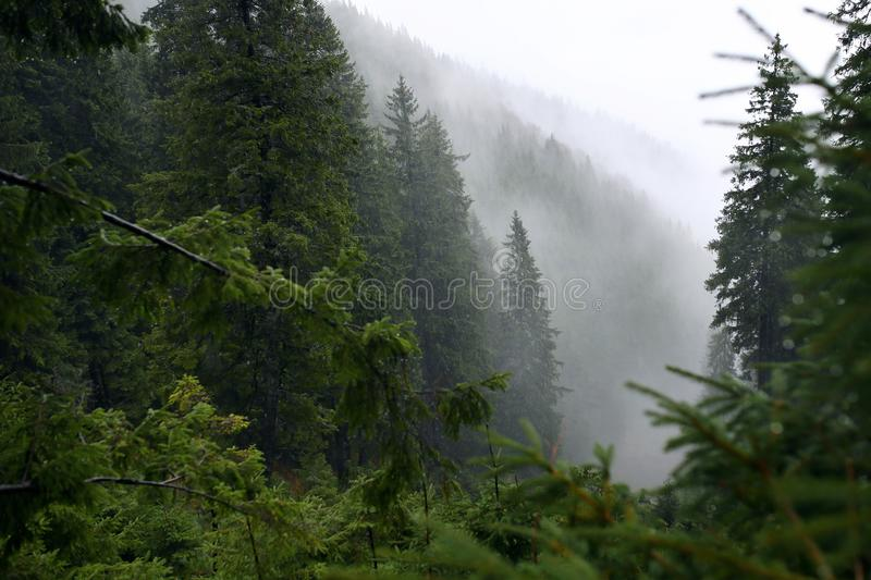 Misty pine forest on the mountain slope in a nature reserve stock photos