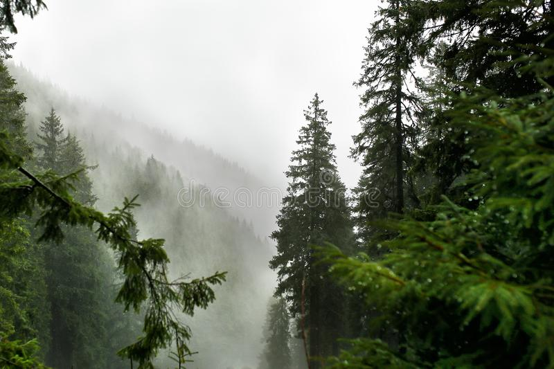 Misty pine forest on the mountain slope in a nature reserve stock photo