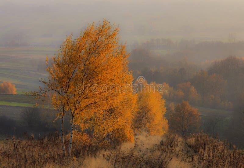 Misty Rural Autumn Landscape With härliga björkar fotografering för bildbyråer