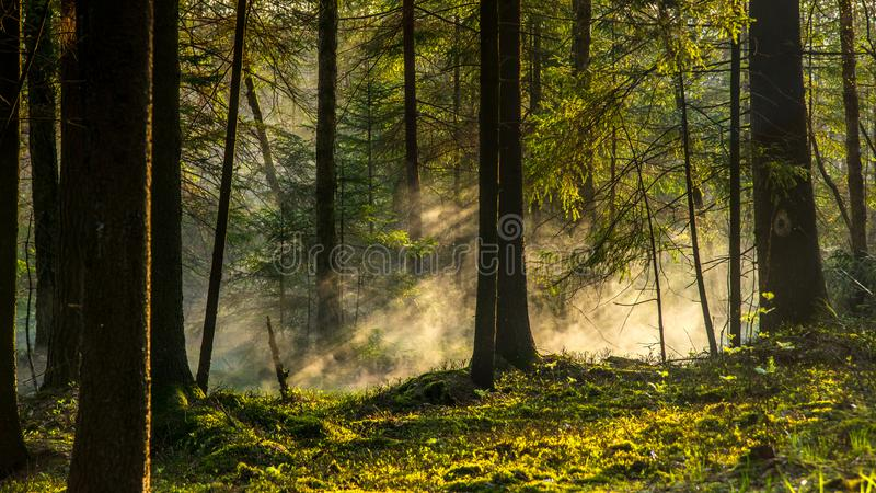 Misty sunrise morning in forest stock photography